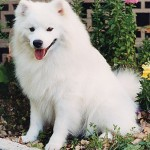 Miniature American Eskimo Dog
