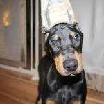 Doberman Dog Breed information